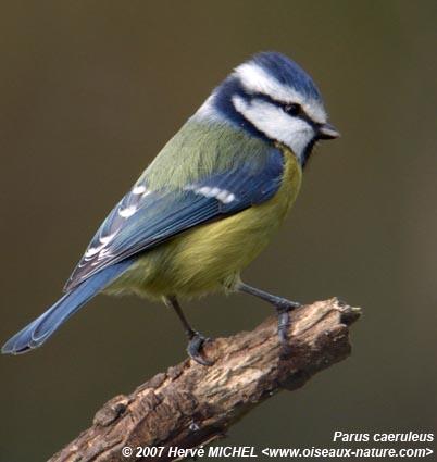 M sange bleue - Jardin des oiseaux petit quevilly ...